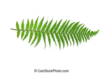 branch of fern isolated on white background