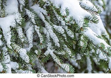 Branch of fir tree in snow