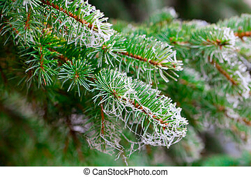 Branch of fir tree with rime