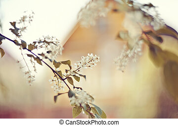 Branch of flowering bird cherry against the background of a yellow wooden house.