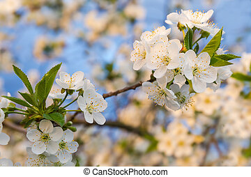 Branch of flowering cherry tree at sunset on blurred background