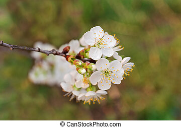 Branch of flowering cherry tree on blurred background