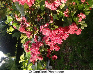 Branch of flowering hawthorn, cultivated double-flowered ...