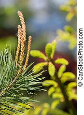branch of flowering pine