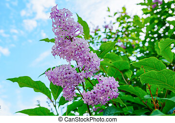 Branch of flowers of a lilac with green leaves