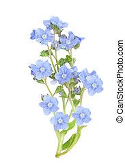 forget me not - branch of forget me not flower isolated on...