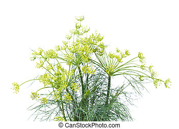 Branch of fresh dill isolated on a white background