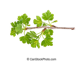 branch of gooseberry with green leaves on a white background