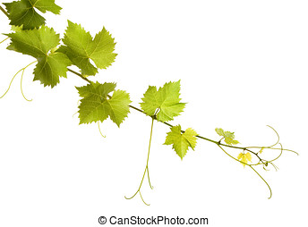 Branch of grape vine on white