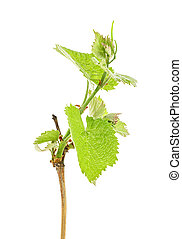 Branch of grapes on a white background