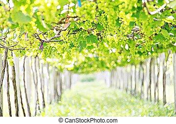 Branch of grapes on vine in vineyard