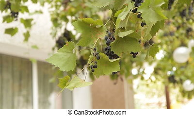 Branch Of Grapes Swaying On Wind