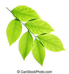 Branch of green leaves isolated on white background
