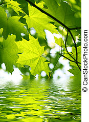 Branch of green maple and water