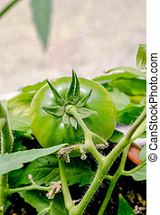 Branch of green tomatoe on the plant.