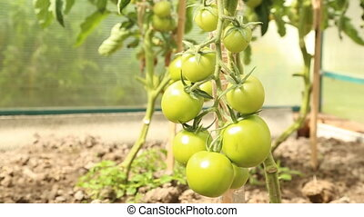 Branch of green tomatoes in greenhouse