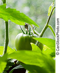 Branch of green tomatoes on the plant.