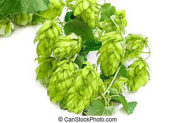 Branch of hops closeup