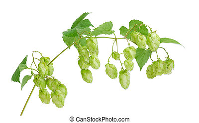 Branch of hops on a light background
