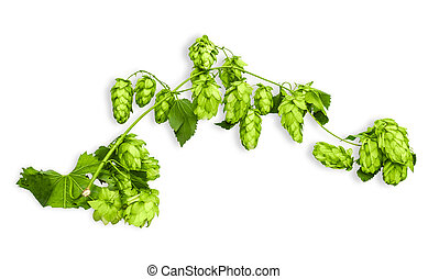Branch of hops