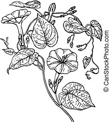 Branch of Ipomoea purga (morning glories) isolated on white background
