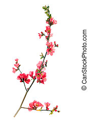 japanese quince - branch of japanese quince blossom at ...