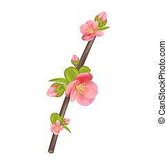 Branch of Japanese Quince (Chaenomeles japonica) in bloom, isolated on white background