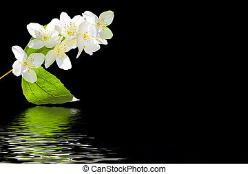 branch of jasmine flowers isolated on black background.