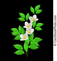 branch of jasmine flowers isolated on black background. spring