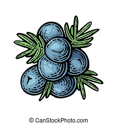 Branch of Juniper with berries. Vintage vector color engraving