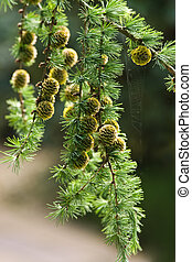 Branch of Larch tree with needles and cones in summer in park