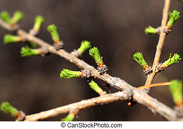 branch of larch with blooming buds