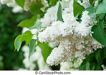 Branch of lilac flowers - Branch of white lilac flowers with...