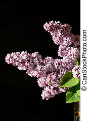 branch of lilac isolated on black background