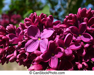 Branch of lilac on a background of the house