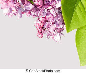 branch of lilac on a gray background
