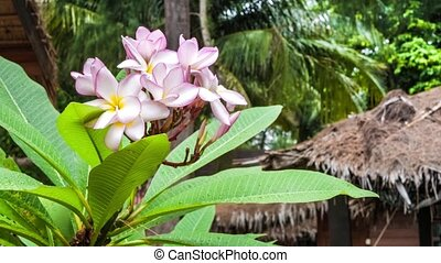 Branch of lilac plumeria flowers just after tropical rain.