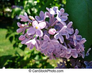 Branch of lilac violet
