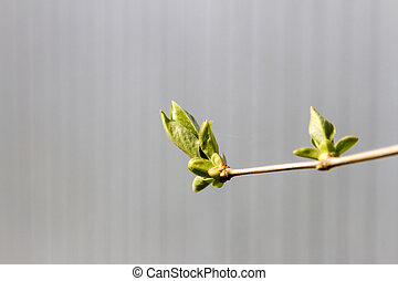 Branch of lilac with young leaves
