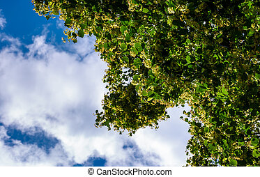 branch of linden tree against the blue sky. closeup of...