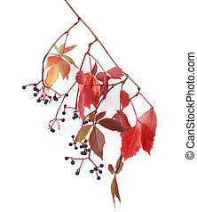 Branch of maiden grapes with autumn leaves and berries