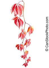 Branch of maiden grapes with autumn leaves on white background