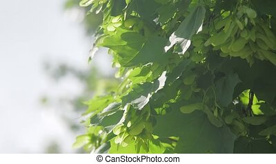 Branch of maple tree in spring time. Fresh green leaves on...
