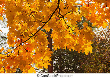 Branch of maple with autumn leaves against forest, background