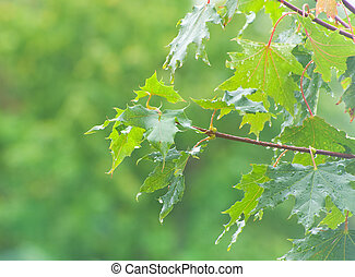 Branch of maple with green leaves, when it is raining