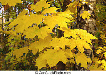 Branch of maple with yellow leaves in autumn in sunny day
