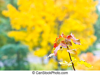 Branch of maple with yellow leaves