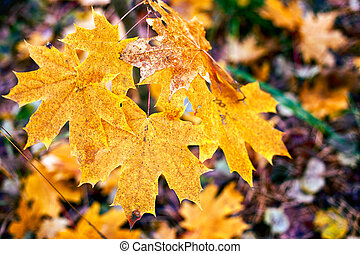Branch of maple yellow leaves in autumn forest