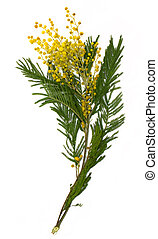 Branch of mimosa (silver wattle) isolated on white