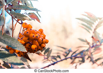 Branch of mountain ash with orange berries in summer forest